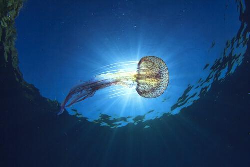 Tipos de medusa que habitan en el mar Mediterráneo