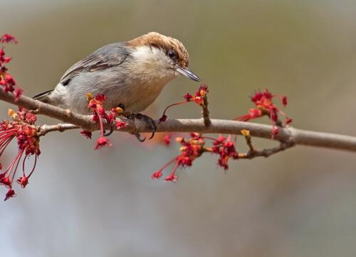Un ave extinta reaparece en las Bahamas
