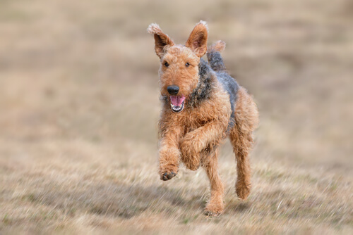 Airedale terrier perros grandes y fuertes