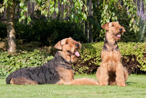 Comportamiento del airedale terrier