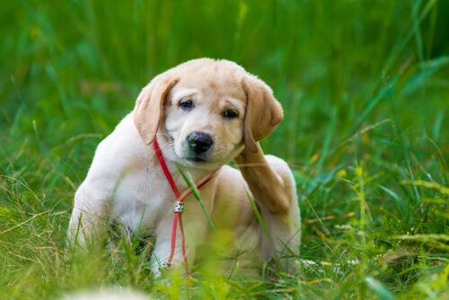 Alergia cutánea canina