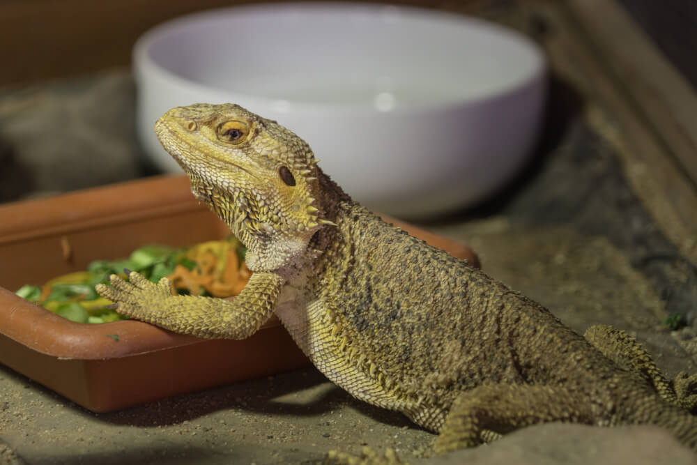 Alimentación del dragón barbudo.