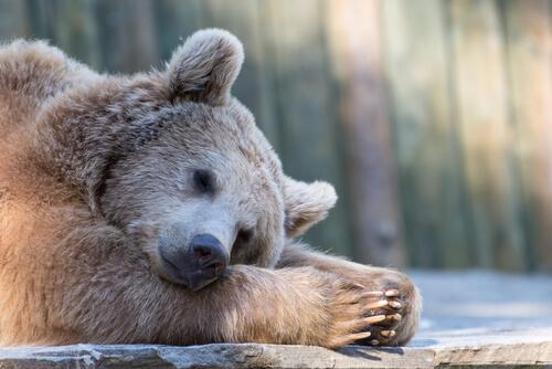 ¿Cómo sobreviven los animales sin comer durante la hibernación?