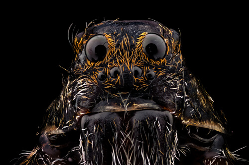 La araña lobo: cómo identificarlas