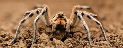 Araña lobo: hábitat