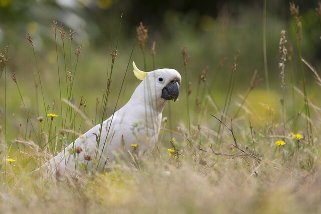 Aves de casa: cacatúas