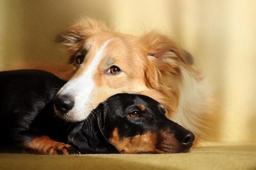 Beneficios de tener dos perros en casa