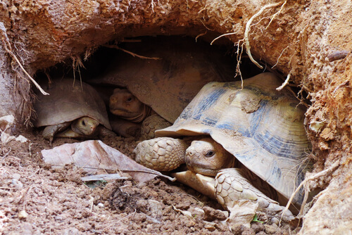 Brumación en reptiles