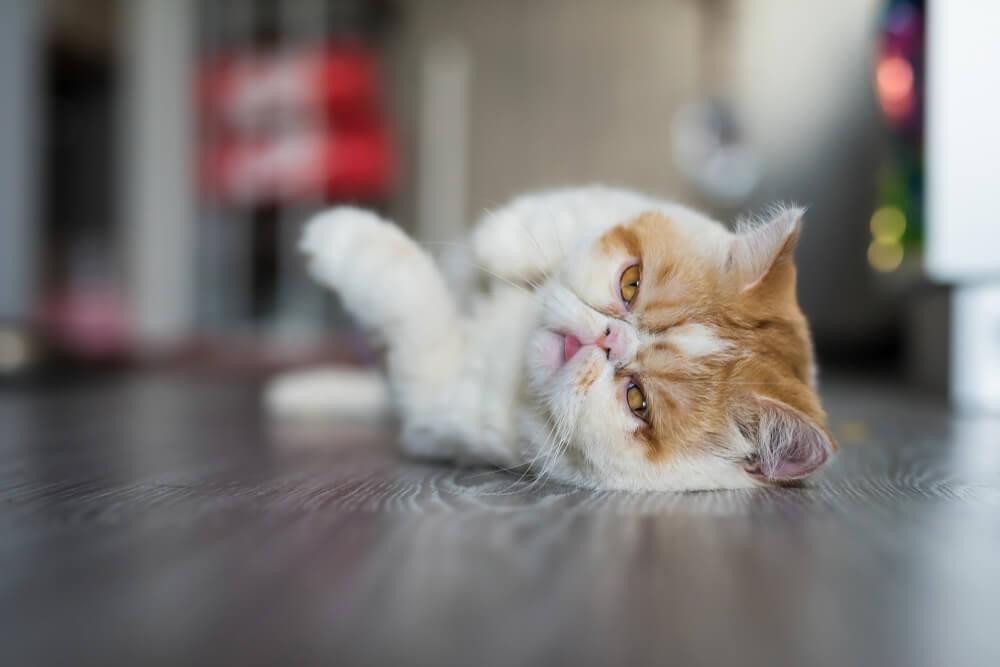 Carácter del gato exótico.