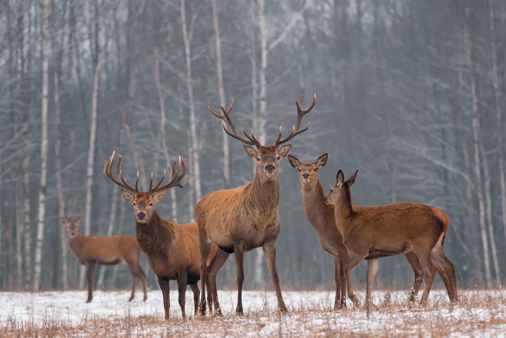 Características de los ciervos rojos.