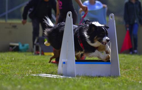 Cómo practicar flyball con tu perro