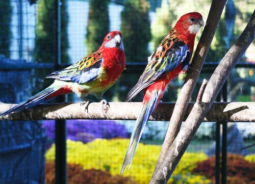 Comportamiento reproductivo del loro multicolor