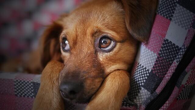 Contagiar a un perro la gripe