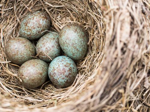 Cuco: huevos en el nido