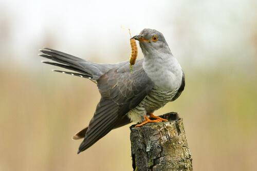 Cuco en nido ajeno