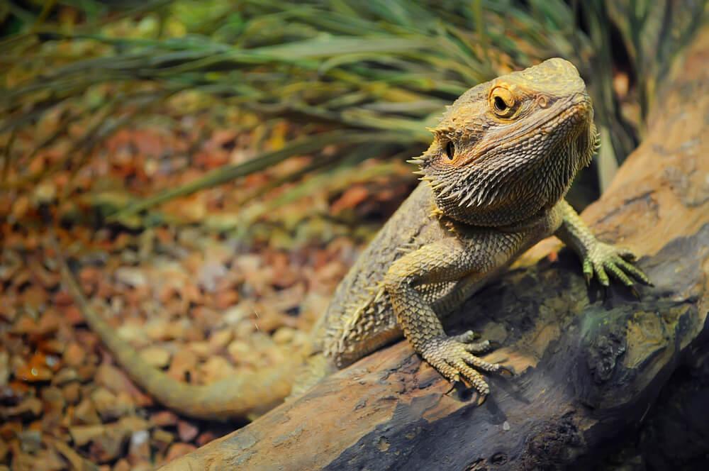 ¿Qué son los dragones barbudos?