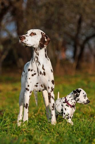 Далматин: одна из самых популярных и известных пород собак