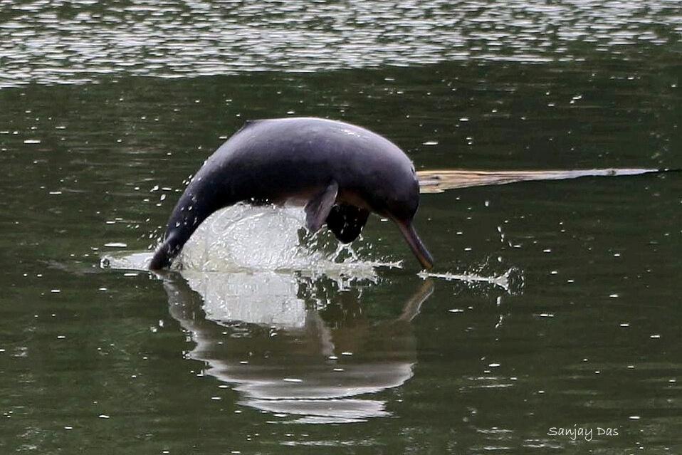 Todo sobre el delfín del Ganges