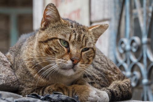 Demencia senil en gatos: tratamiento
