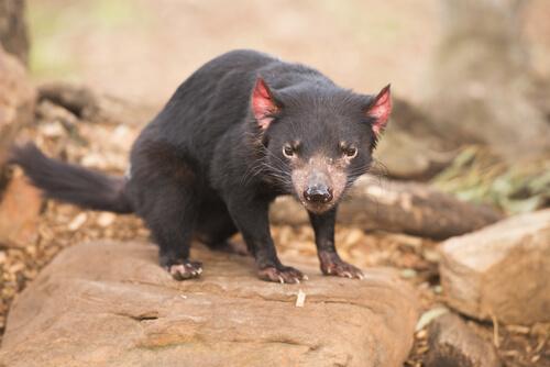 Australia, el país de los marsupiales