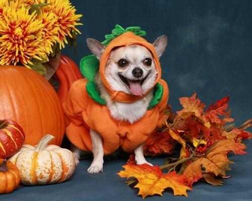 Disfrazar a tu mascota en Halloween de calabaza