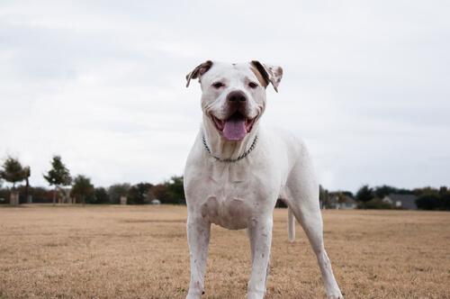 Dogo Argentino en el campo.