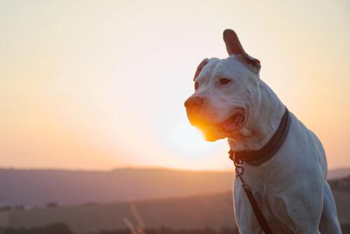 Dogo Argentino: características, comportamiento y cuidados