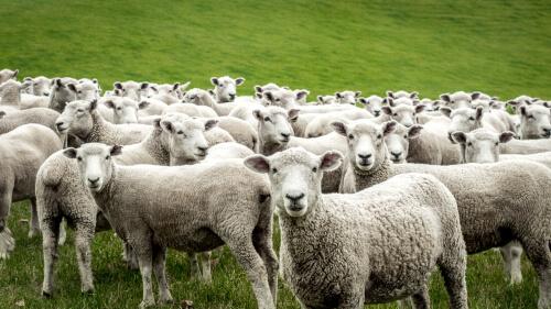 Domesticación de la oveja