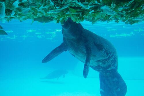 Dugong dugon: reproducción