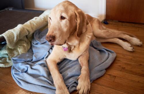 Edad geriátrica de los perros