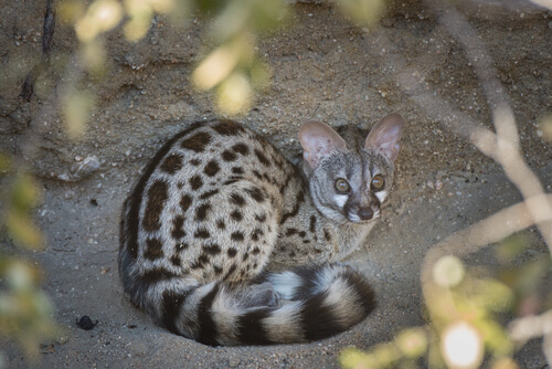 Gato almizclero