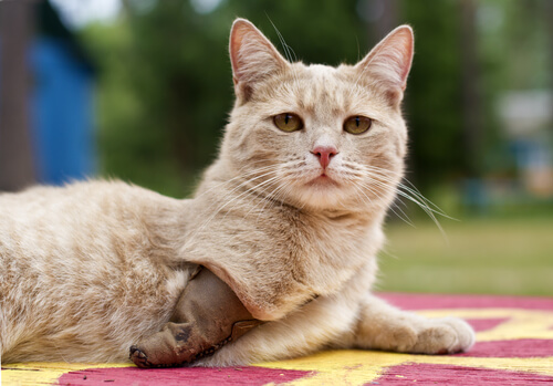 Gato con tres patas