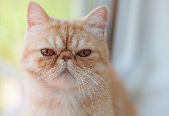 Экзотическая кошка: поведение и особенности