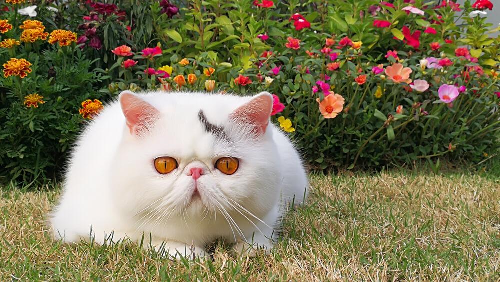 Gato exótico blanco.