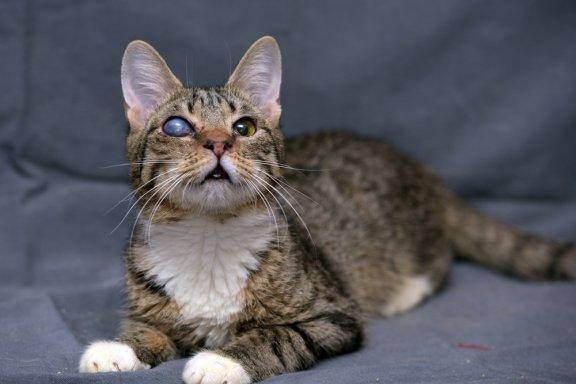 Глаукома у кошек: причины, симптомы и лечение