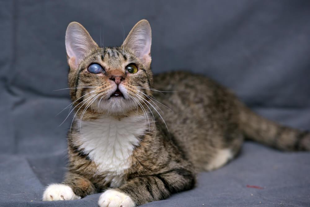 Glaucoma en gatos: causas, síntomas y tratamiento