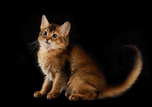 Gato somalí: carácter