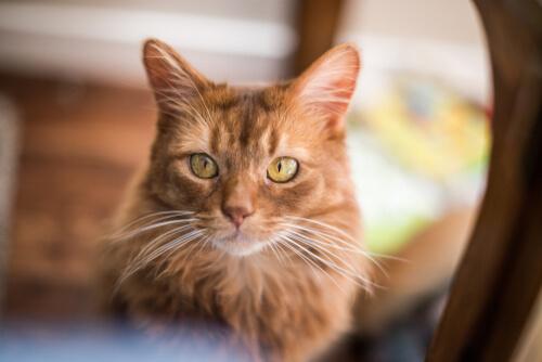 Gato somalí: personalidad y cuidados