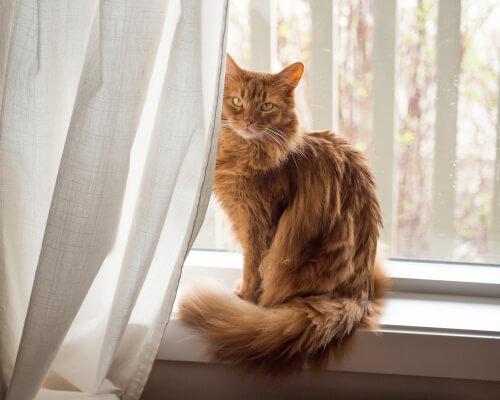 Gato somalí: personalidad