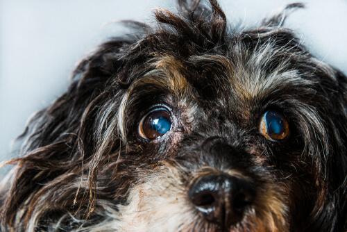 Glaucoma en perros: síntomas y tratamientos