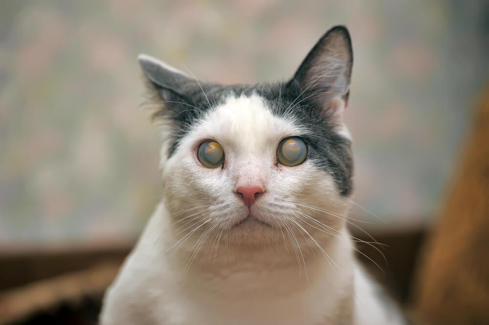 Gato con glaucoma.