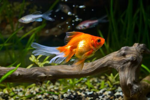 ¿Puede ser la calidad del agua el secreto para la salud de un pez dorado?