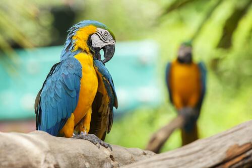 Guacamayos azulamarillos