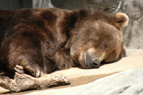 ¿En qué consiste la hibernación y qué animales lo hacen?