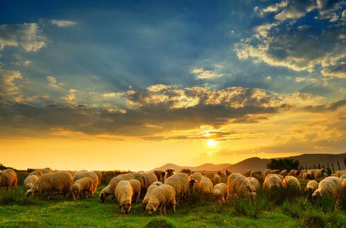 Historia de la oveja