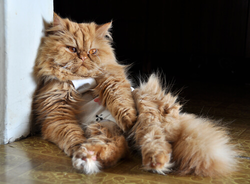 Infecciones del gato que pueden contagiar a los humanos