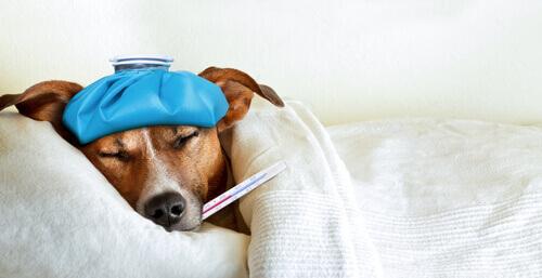Influenza canina