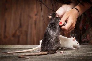 ¿Cómo enseñarle trucos a tu rata mascota?