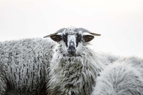 La oveja y el hombre