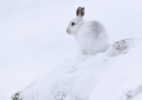 Liebre del ártico en la nieve.